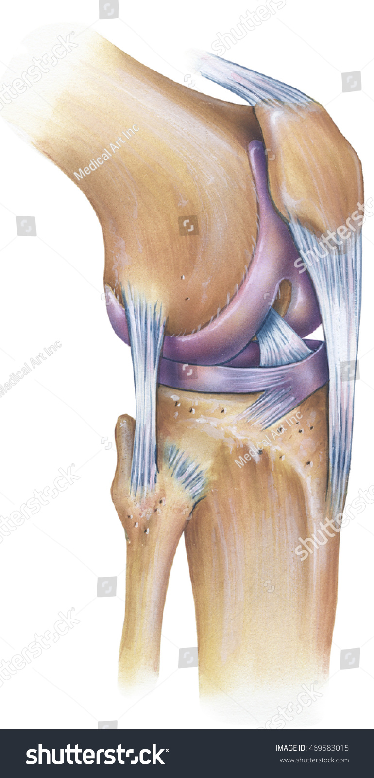 Knee Anterolateral View Shown Patella Anterior Stock Illustration