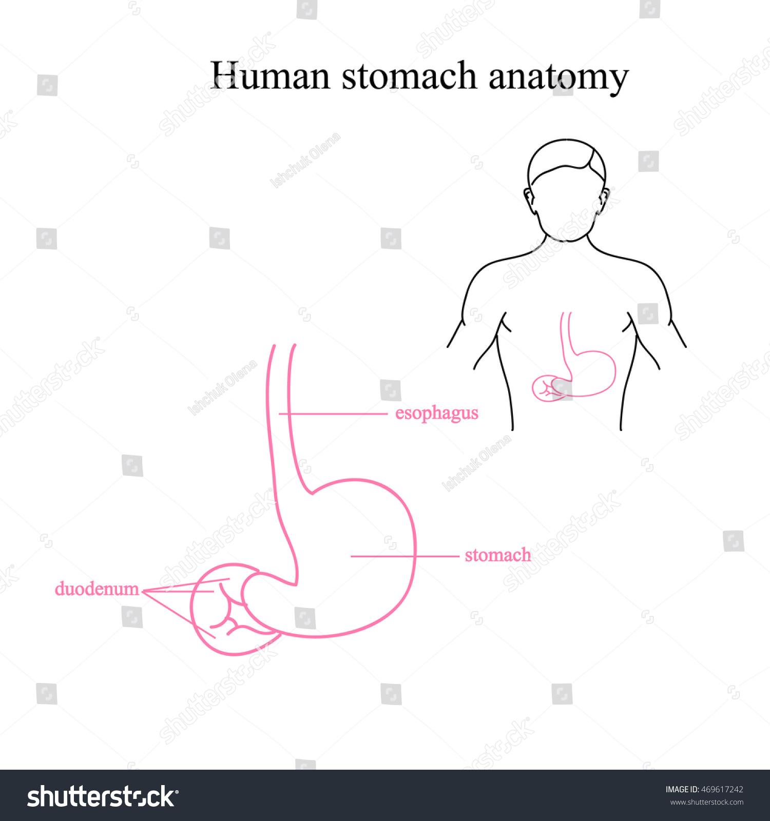 Anatomy Human Stomach Location Stomach Human Stock Vector Royalty