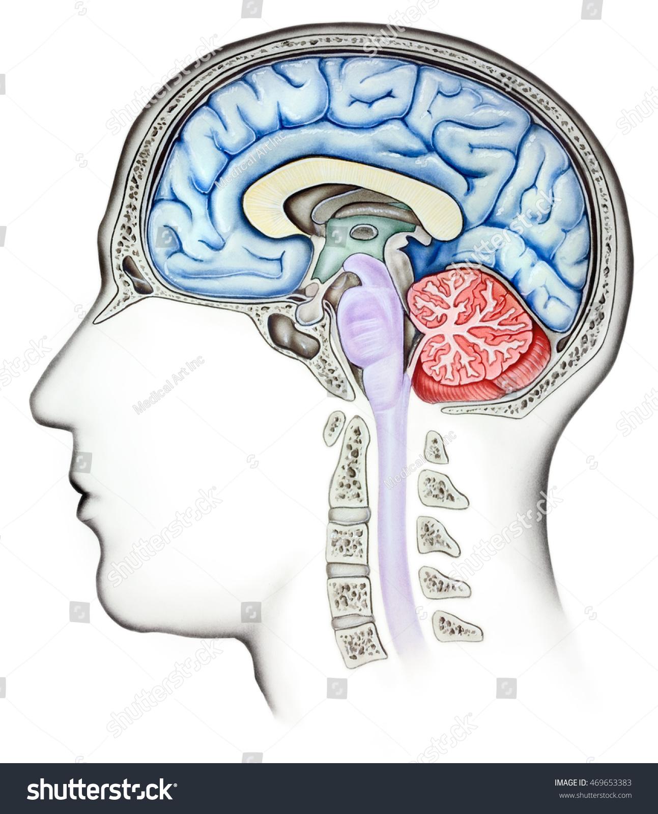 Royalty Free Stock Illustration of Anatomy Human Brain Cutaway Side ...