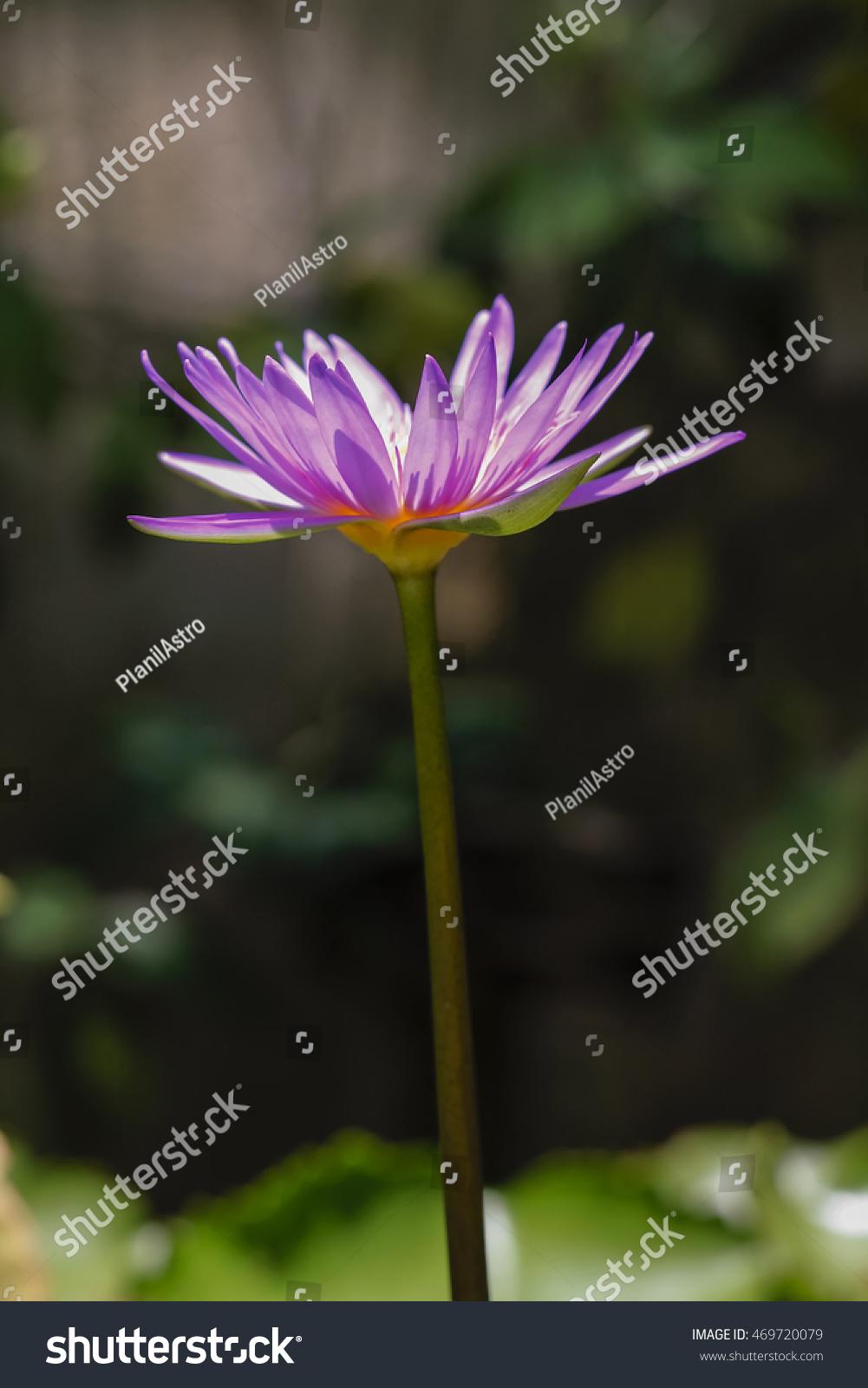 Thai lotus flower stock photo royalty free 469720079 shutterstock thai lotus flower izmirmasajfo