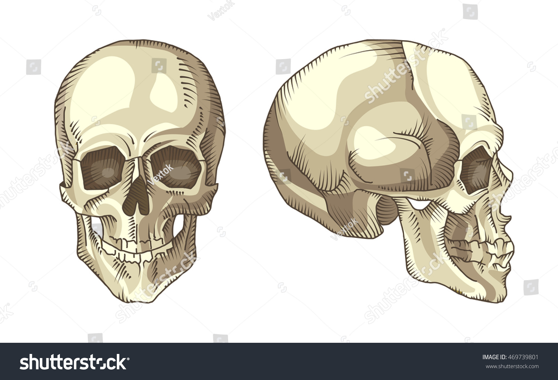 Illustration Anatomical Skull Stock Vector Royalty Free 469739801