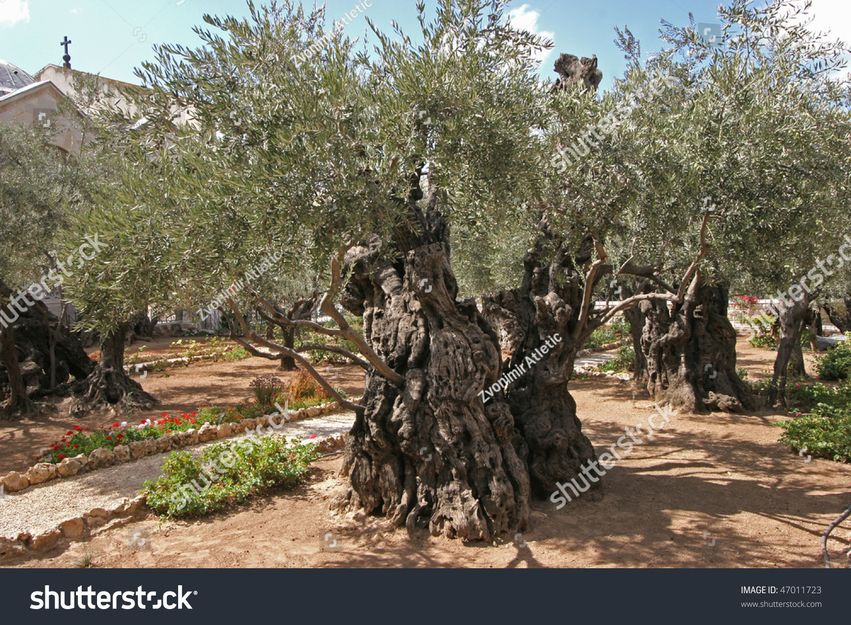 Jerusalem Garden Gethsemane Stock Photo (Edit Now) 47011723 ...