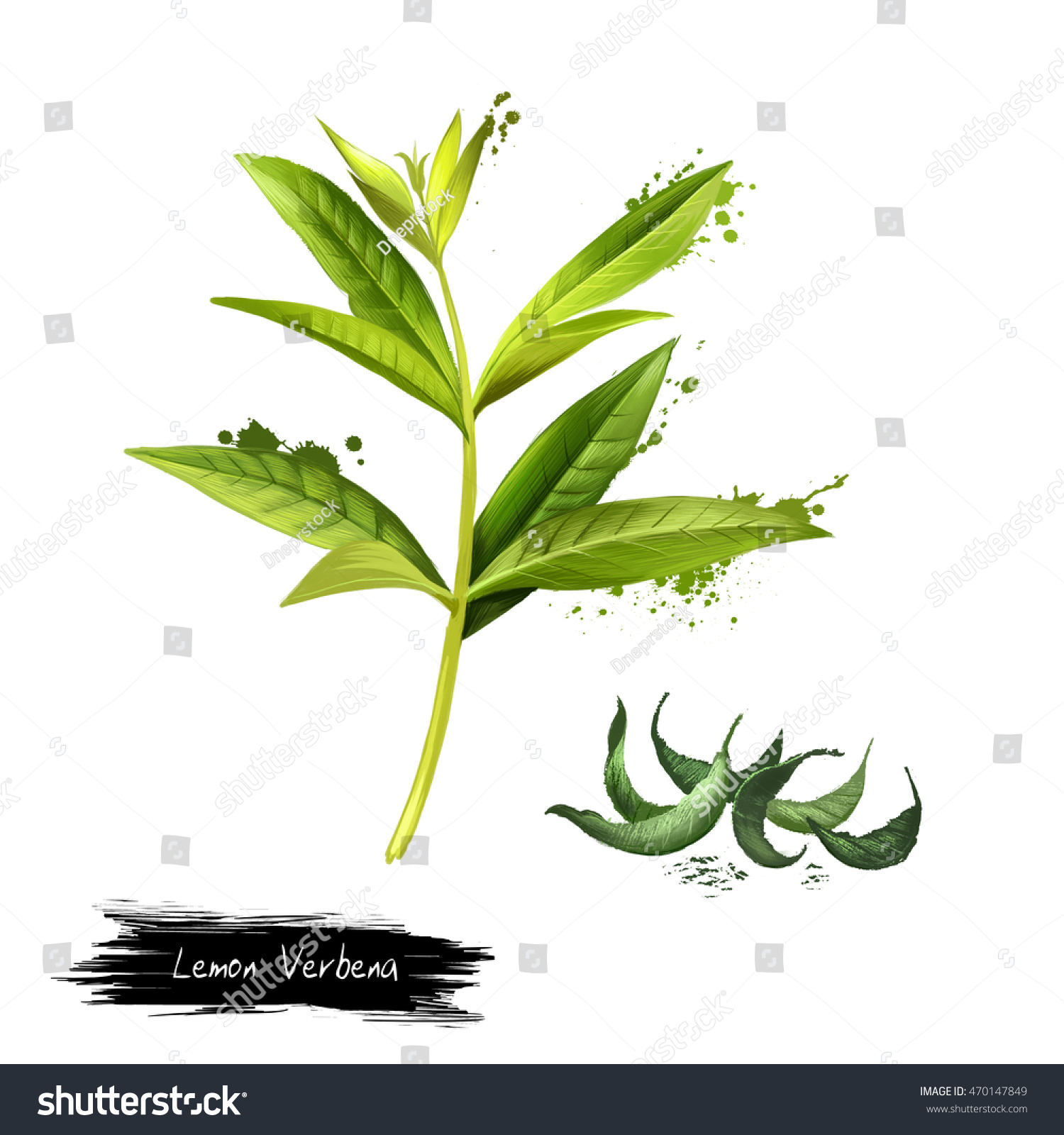 Lemon verbena fresh and dried Lemon beebrush Aloysia citrodora is a species of flowering plant in verbena family Labels for Essential Oils and Natural Supplements Digital art image