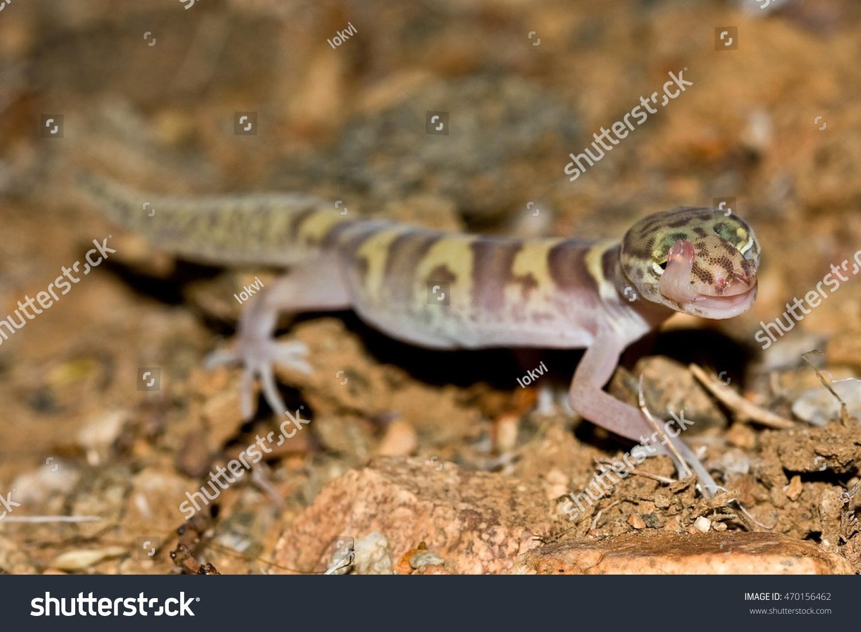 coleonyx variegatus western banded gecko licking stock photo