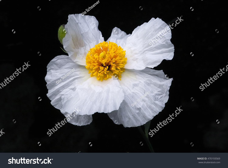 Matilija Poppy California Tree Poppy Romneya Coulteri Big White