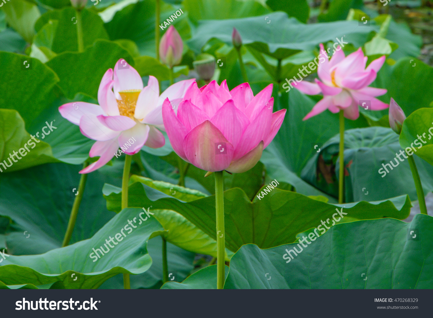 Selective Focus Blurred Pink Lotus Flower Stock Photo Edit Now