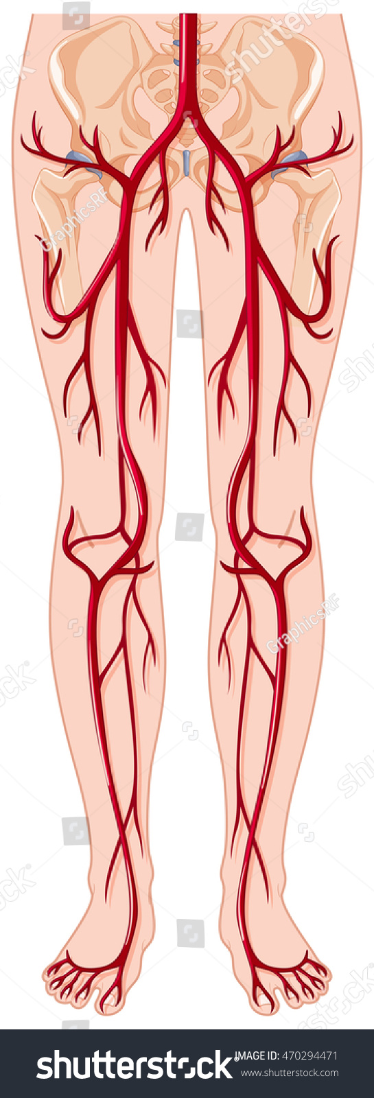Blood Vessels Human Body Illustration Stock Vector Royalty Free