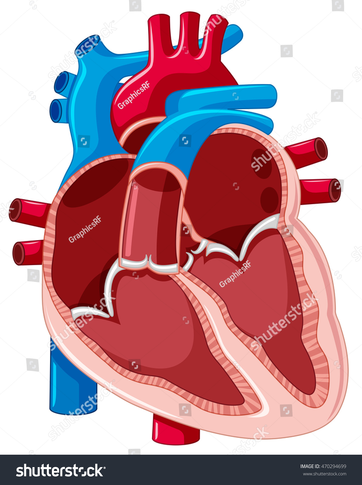 Diagram Showing Inside Human Heart Illustration Stock Vector