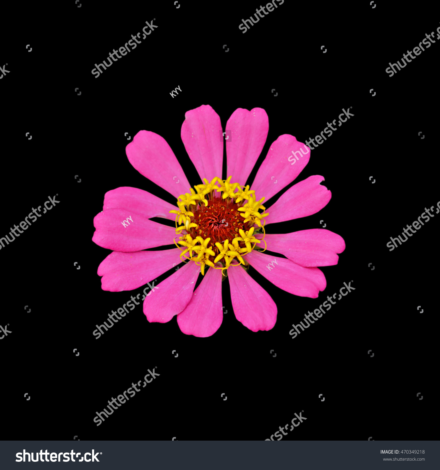 Pink Flower Isolated On Black Background Ez Canvas