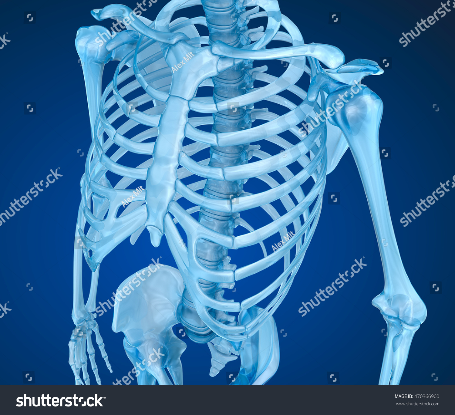Human Skeleton Breast Chest Medically Accurate Stock Illustration