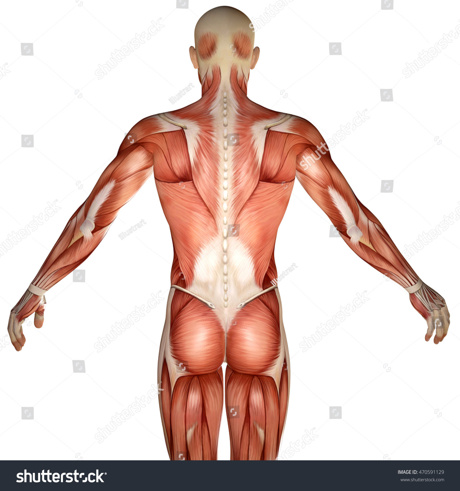3 D Human Anatomy Torso Back Muscles Stock Illustration 470591129