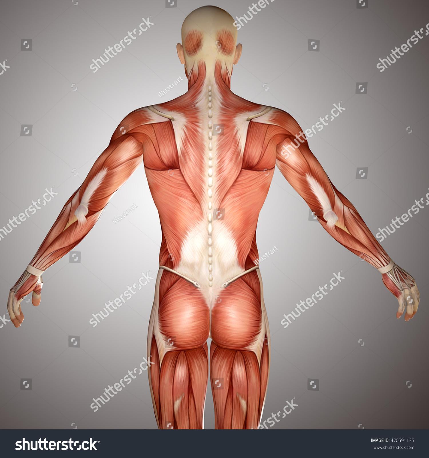 3 D Human Anatomy Torso Back Muscles Stock Illustration Royalty