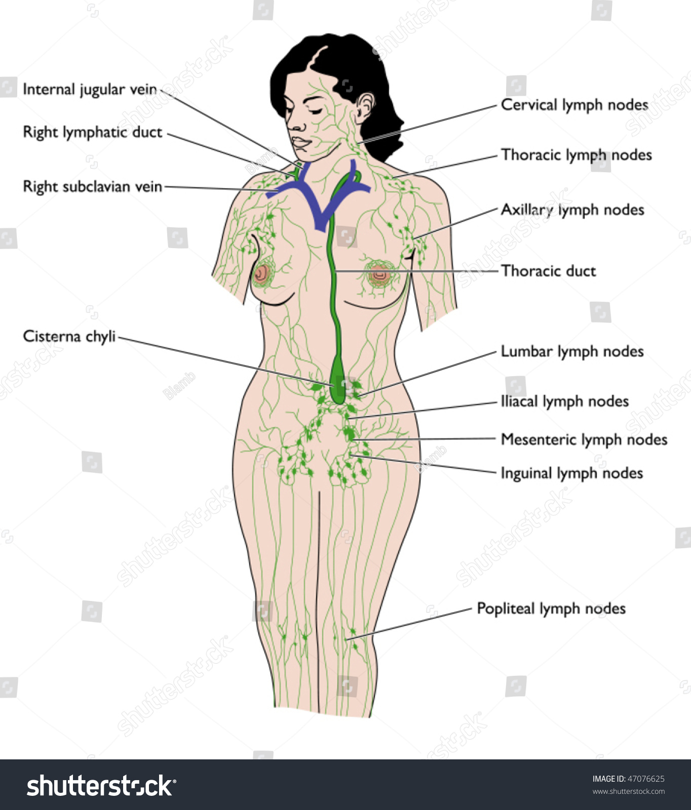 Lymphatic System Labeled Stock Vector Royalty Free 47076625