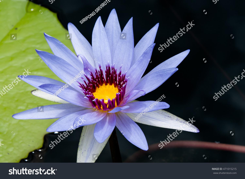 Beautiful blue waterlily lotus flower pond stock photo edit now a beautiful blue waterlily or lotus flower in pond izmirmasajfo