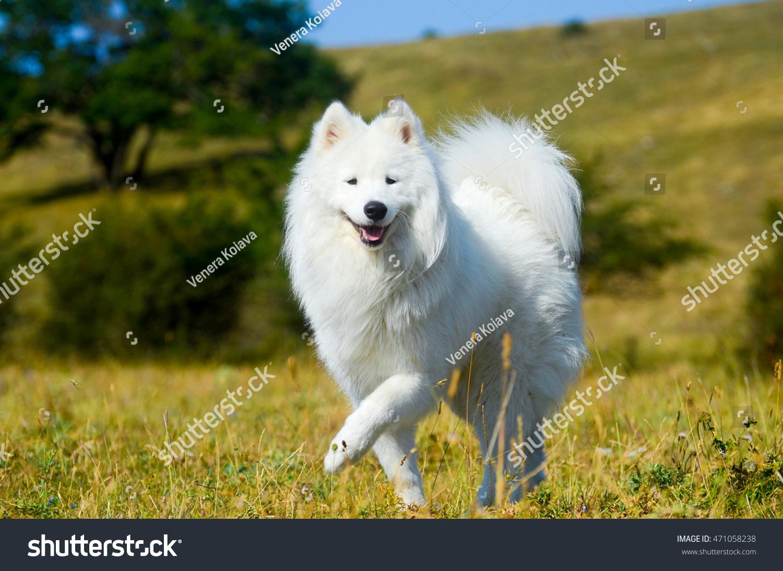Siberian samoyed white husky dog stock photo 471058238 shutterstock siberian samoyed white husky dog voltagebd Image collections