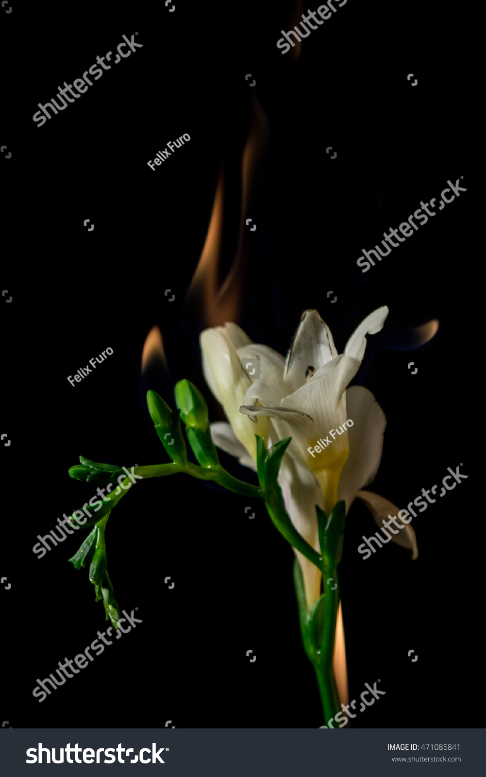 White Freesia Flower On Fire Flames Stock Photo Royalty Free