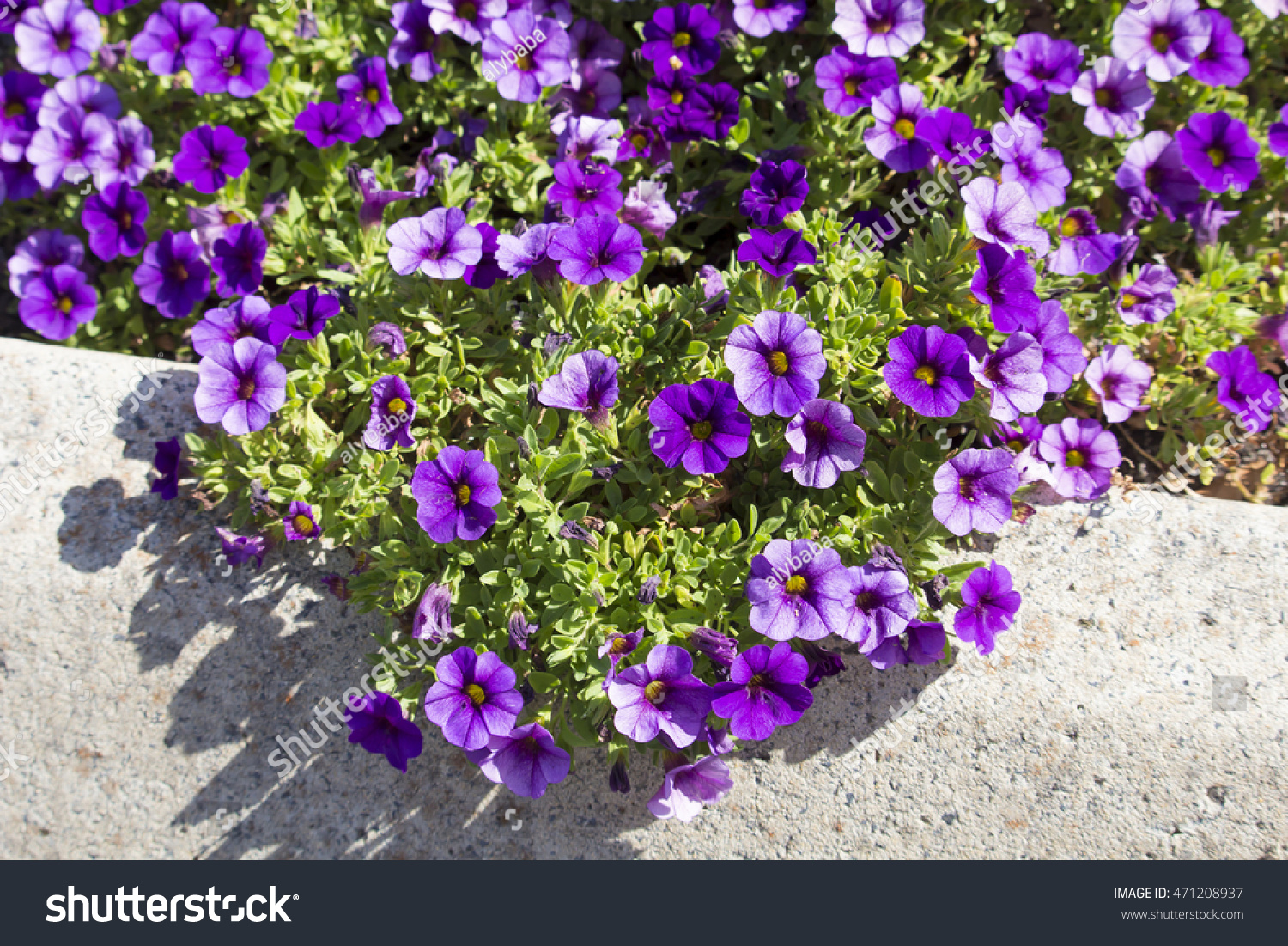 Cheerful Single Purple And Mauve Flowers Of Annual Petunias Family
