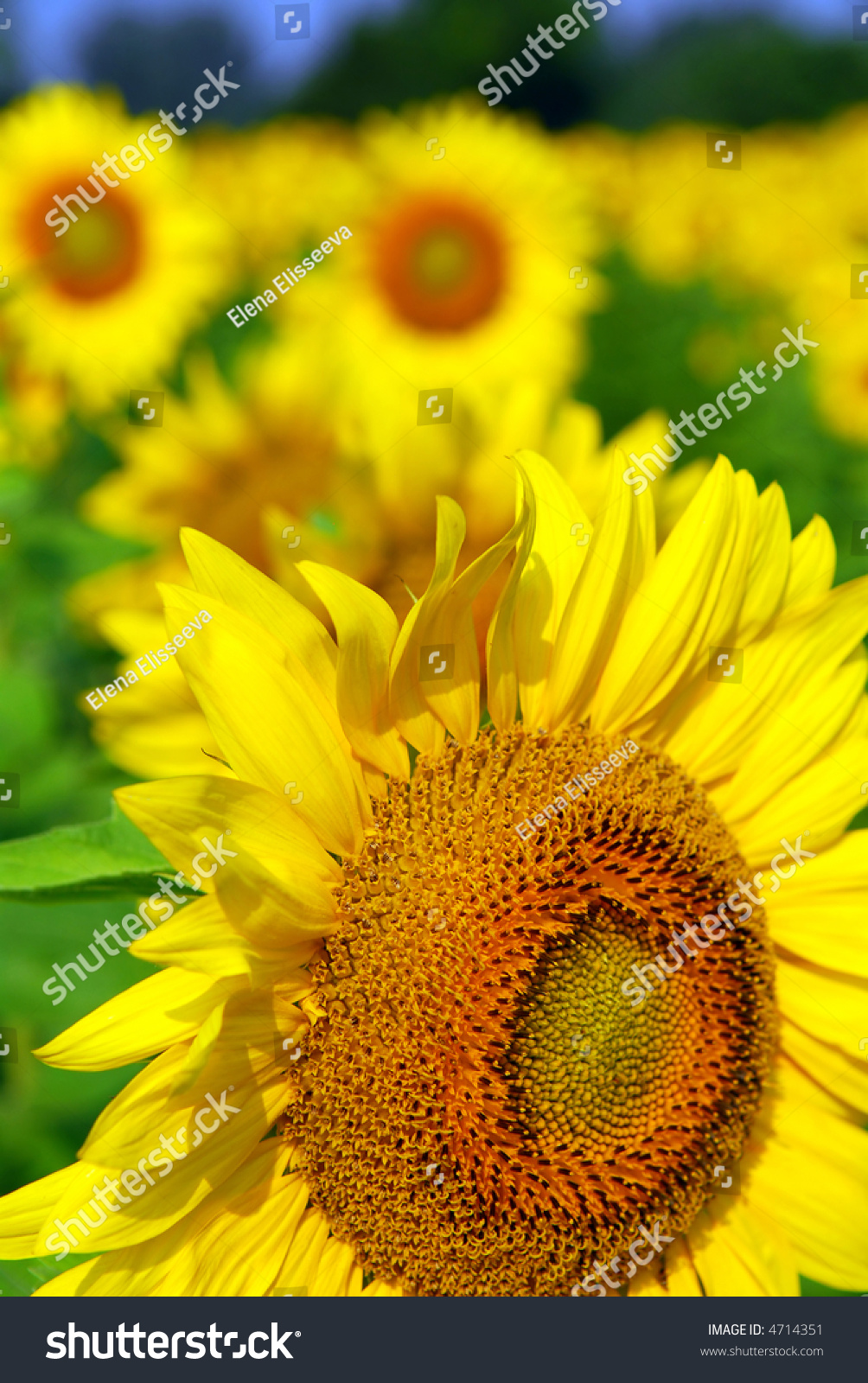 sunflower field picture blooming - photo #32