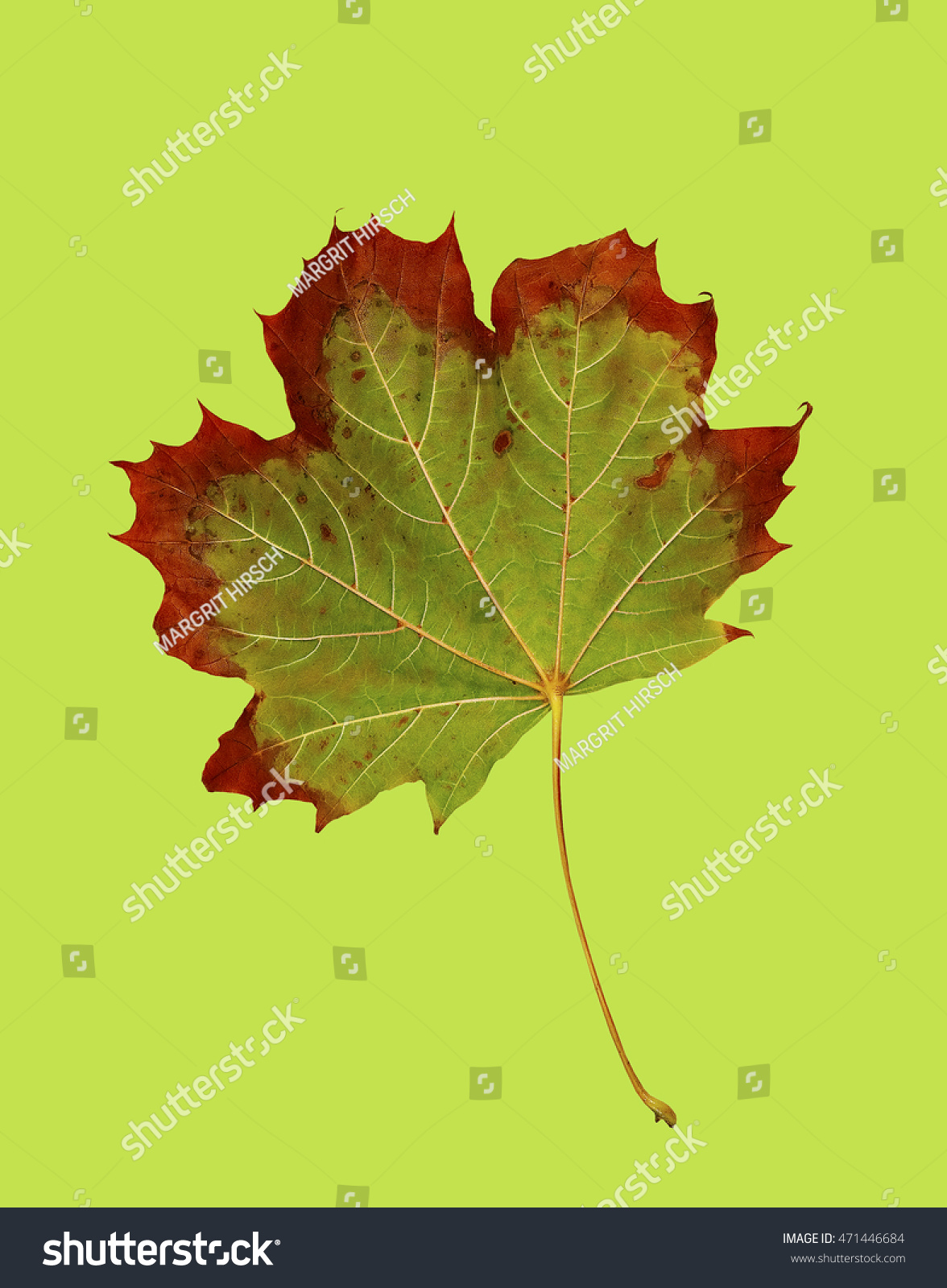 Maple Leaf Changing Colors On Green Stock Photo (Royalty Free ...