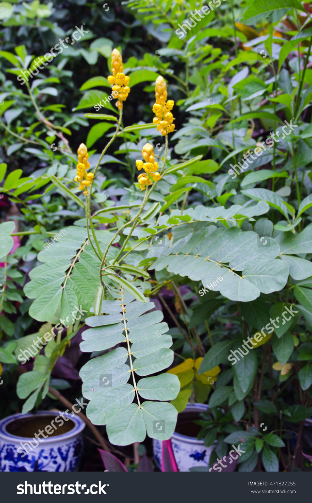 Yellow Flower Digestive Herb Tree Name Stock Photo Edit Now