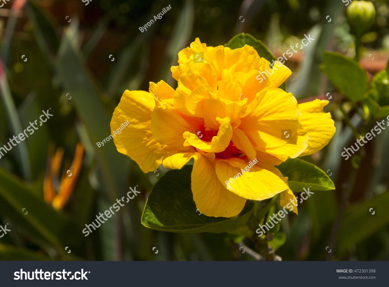 Hibiscus Yellow Flower Guatemala Stock Photo Edit Now 472301398