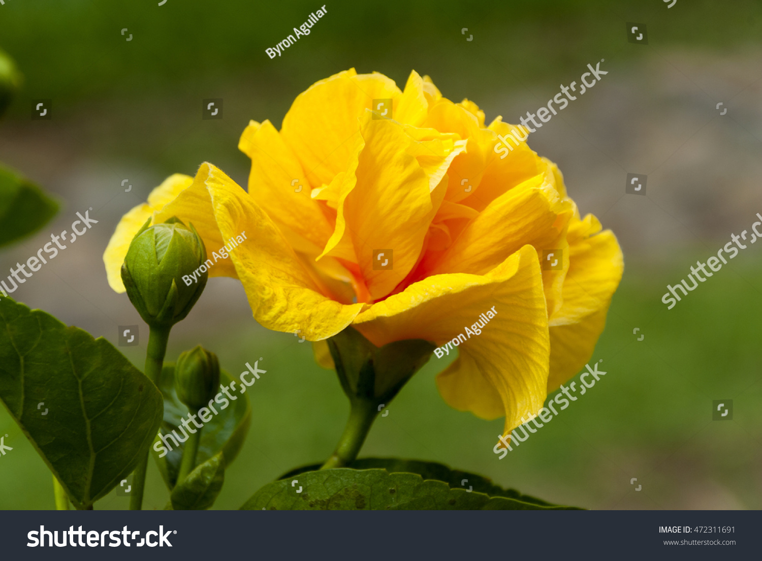 Hibiscus Yellow Flower Guatemala Stock Photo Royalty Free