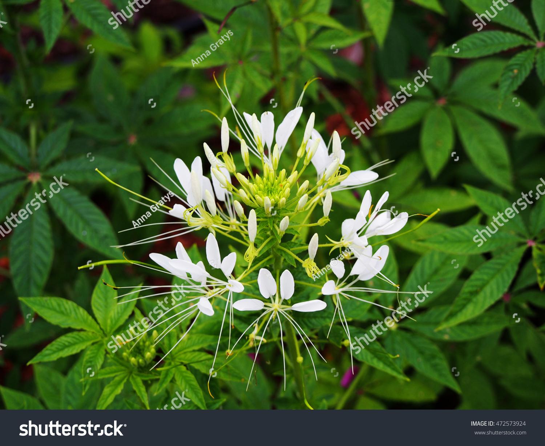 White spider flower cleome spinosa stock photo 472573924 shutterstock white spider flower cleome spinosa mightylinksfo