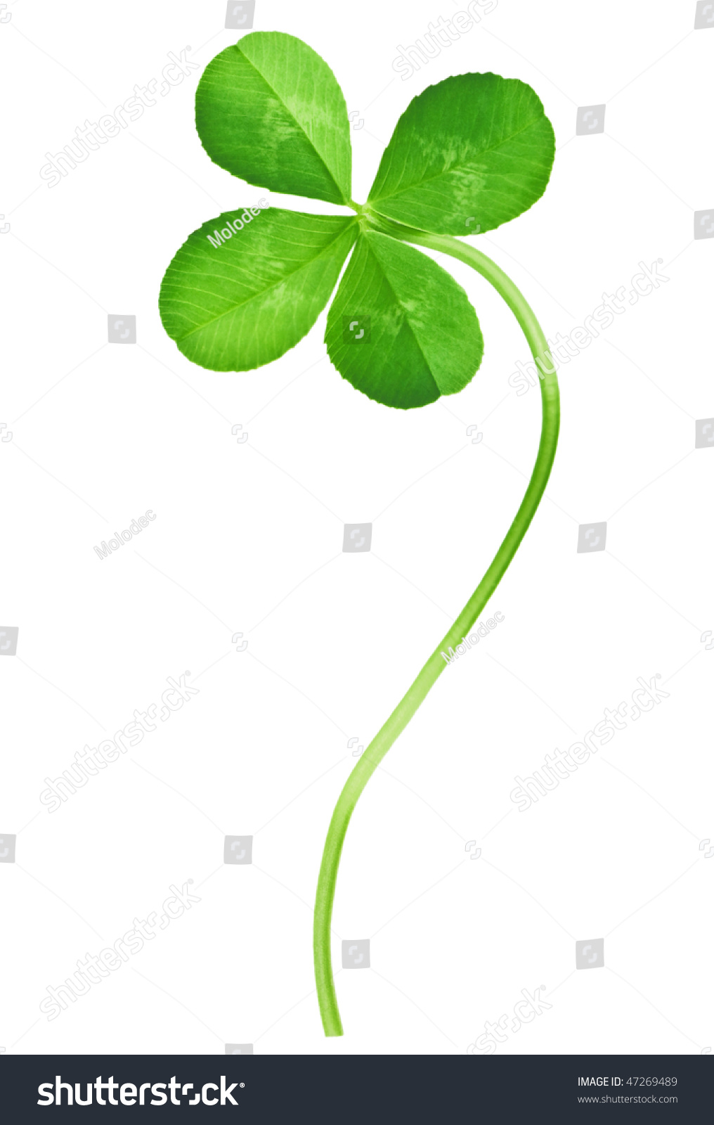 four leaf clover isolated on white stock photo 47269489 shutterstock