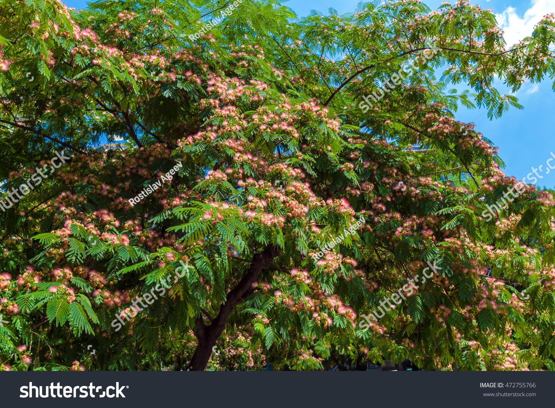Persian Silk Tree Albizia Julibrissin Flowers Stock Photo Download