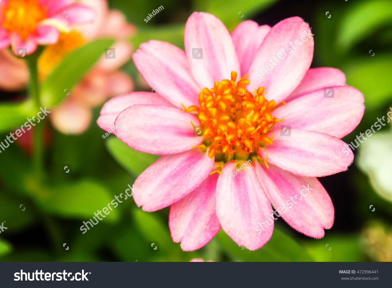 Beautiful Single Flowers Closeup Nature Backgroundpink Stock Photo