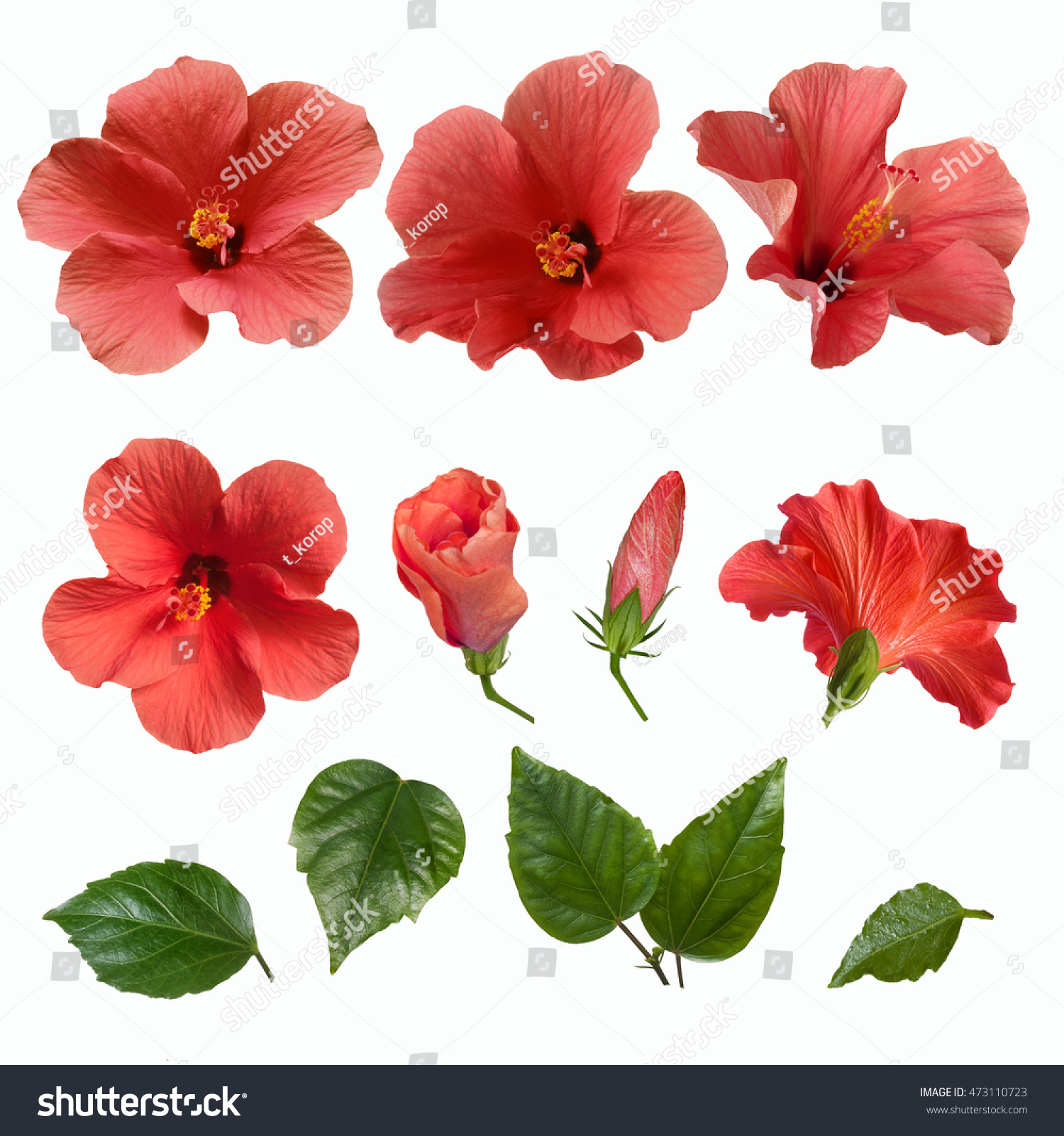 Set Bright Large Pink Hibiscus Flowers Stock Photo Edit Now