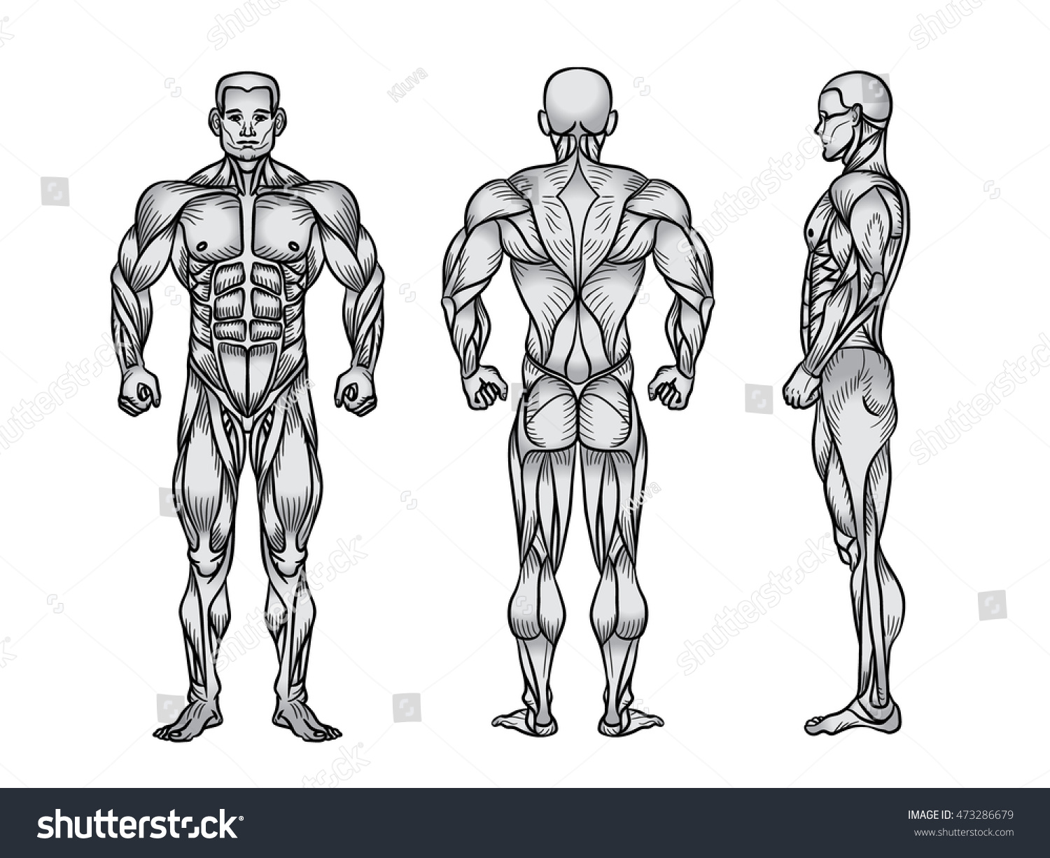 Anatomy Male Muscular System Exercise Muscle Stock Illustration ...