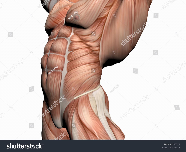Anatomically Correct Medical Model Human Body Stock Illustration ...