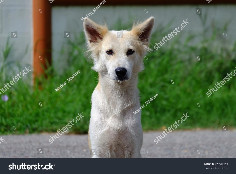 Close White Cute Dog Nature Wallpaper Stock Photo Edit Now 473526163