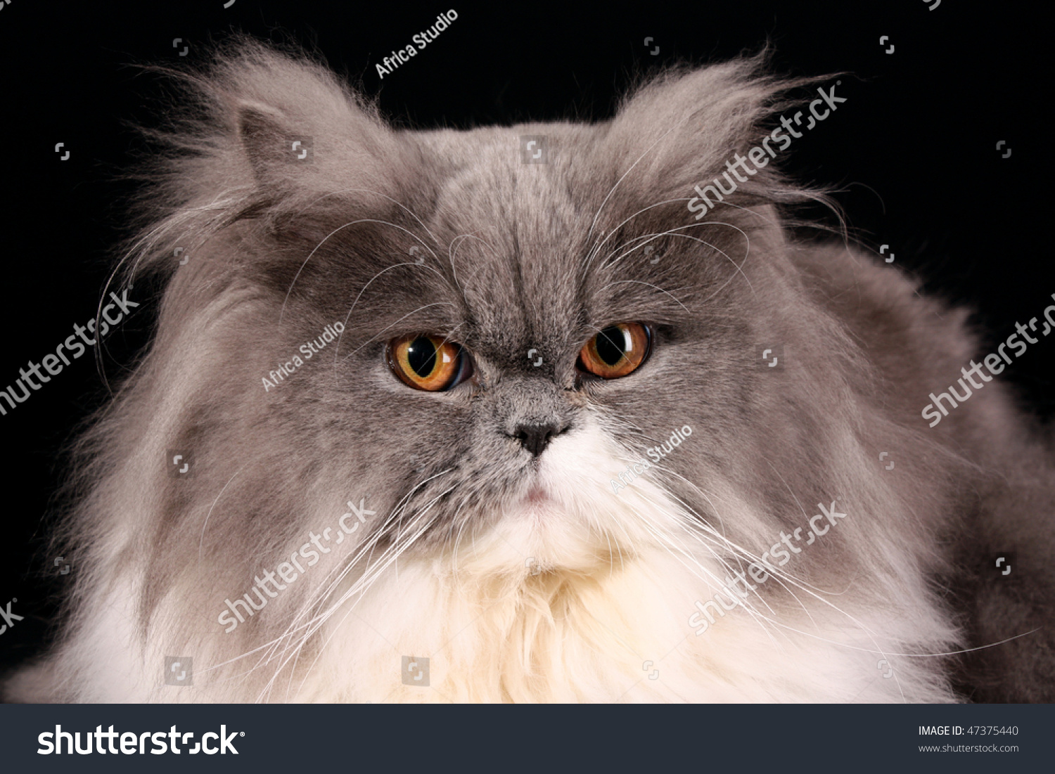 Grey Persian Cat Black Background Stock