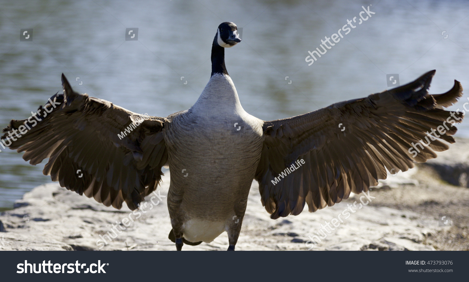 Background canada goose wings opened stock photo 473793076 background with a canada goose with the wings opened biocorpaavc