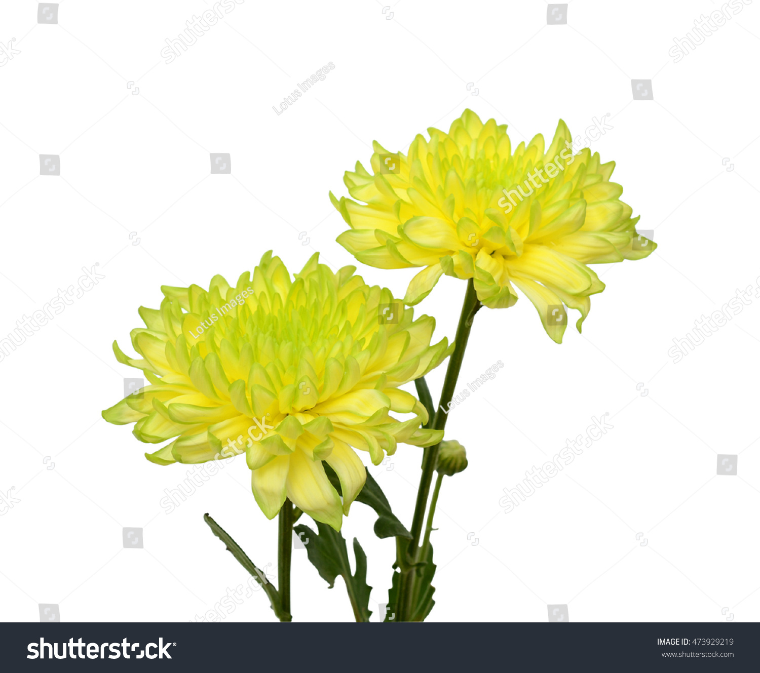 Beautiful Yellow Daisies Flowers Isolated On Stock Photo Edit Now