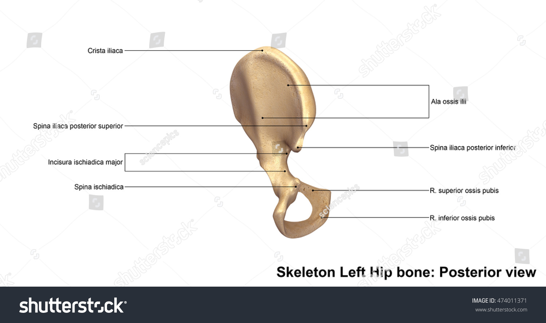 Skeleton Left Hip Bone Posterior View Stock Illustration 474011371 ...