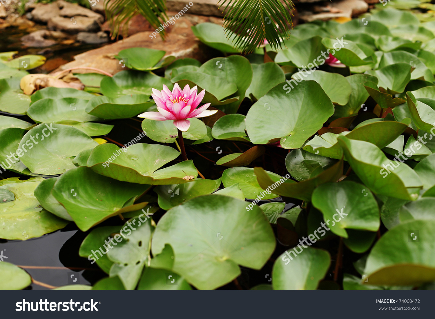 Water Lily Pond Garden Many Green Stock Photo Royalty Free