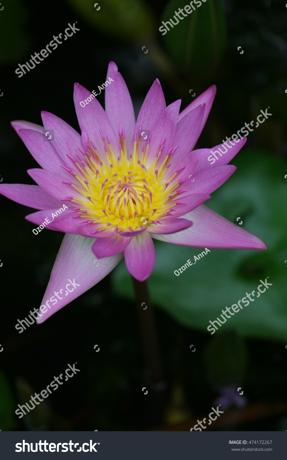 Colorful purple lotus flower a purple lotus is one of the id 474172267 mightylinksfo