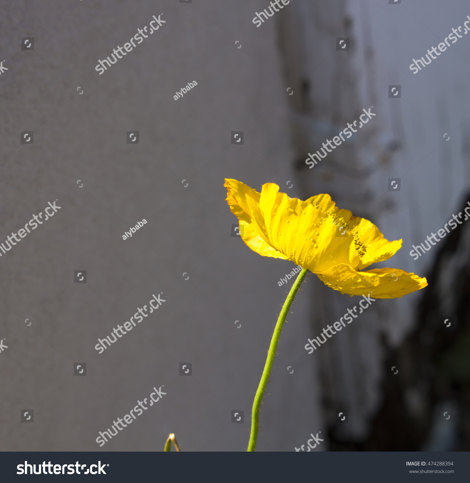 Bright Yellow Poppies Flowering Plants In The Subfamily