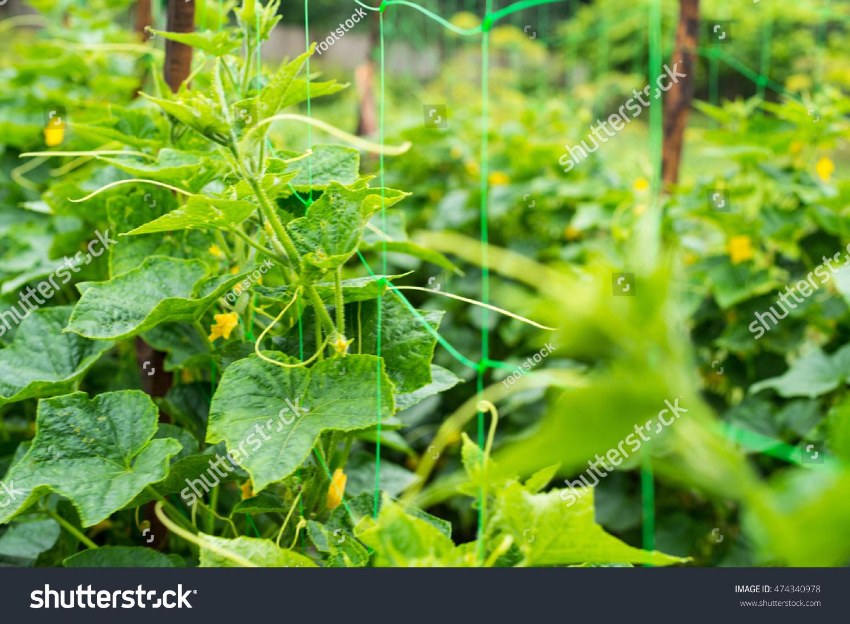 Cucumber Yellow Flowers Creeping Vines Green Stock Photo Royalty