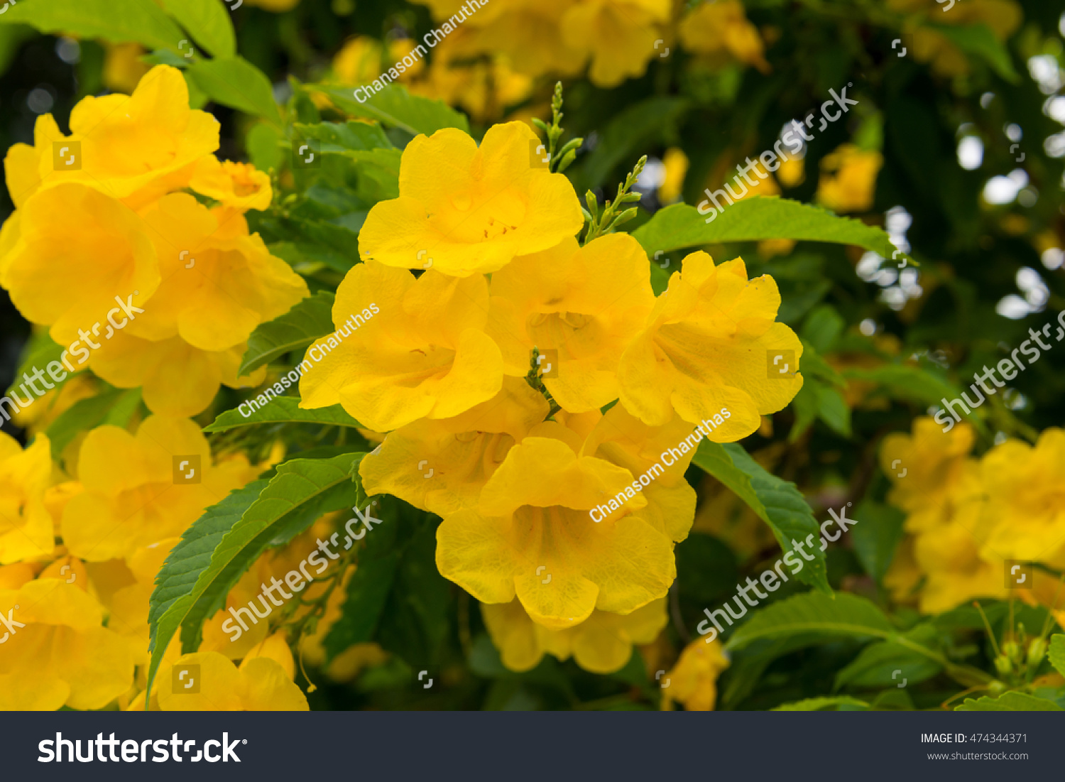 Blooming Yellow Bell Yellow Elder Trumpet Stock Photo Image