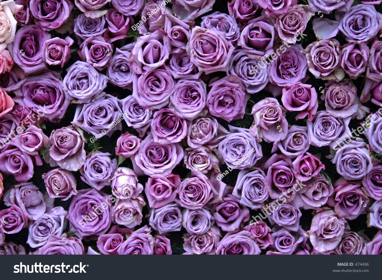 Purple Roses Stock Photo 474496 - Shutterstock