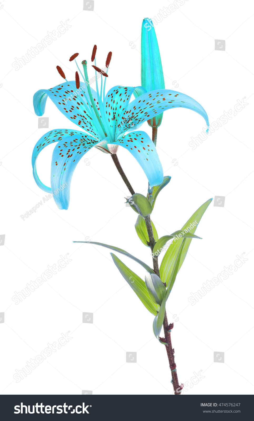 Blue lily flower isolated on white stock photo edit now 474576247 blue lily flower isolated on white background izmirmasajfo