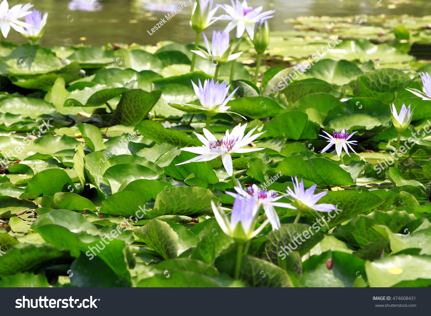 Top view white violet lotus flower stock photo 100 legal top view of white violet lotus flower in water pond izmirmasajfo