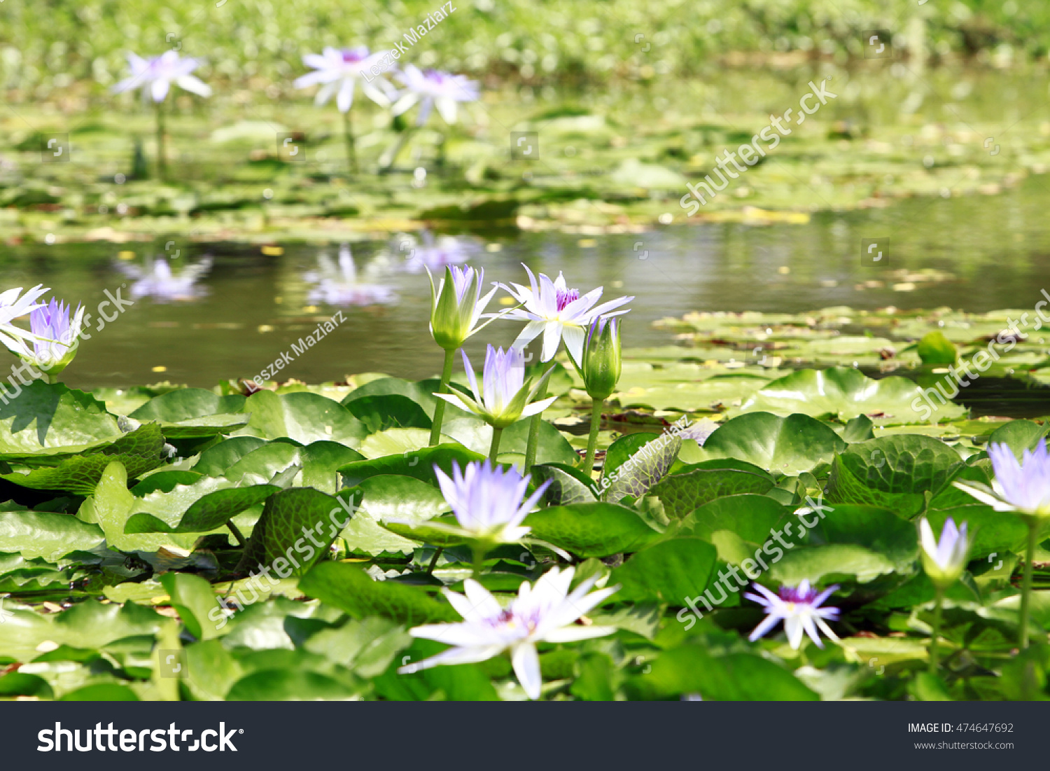 Top view white violet lotus flower stock photo royalty free top view of white violet lotus flower in water pond izmirmasajfo