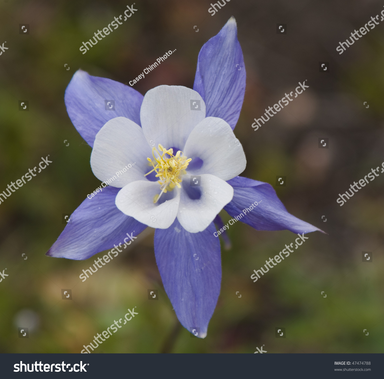 Single Columbine Flower Colorado Stock Photo Royalty Free 47474788