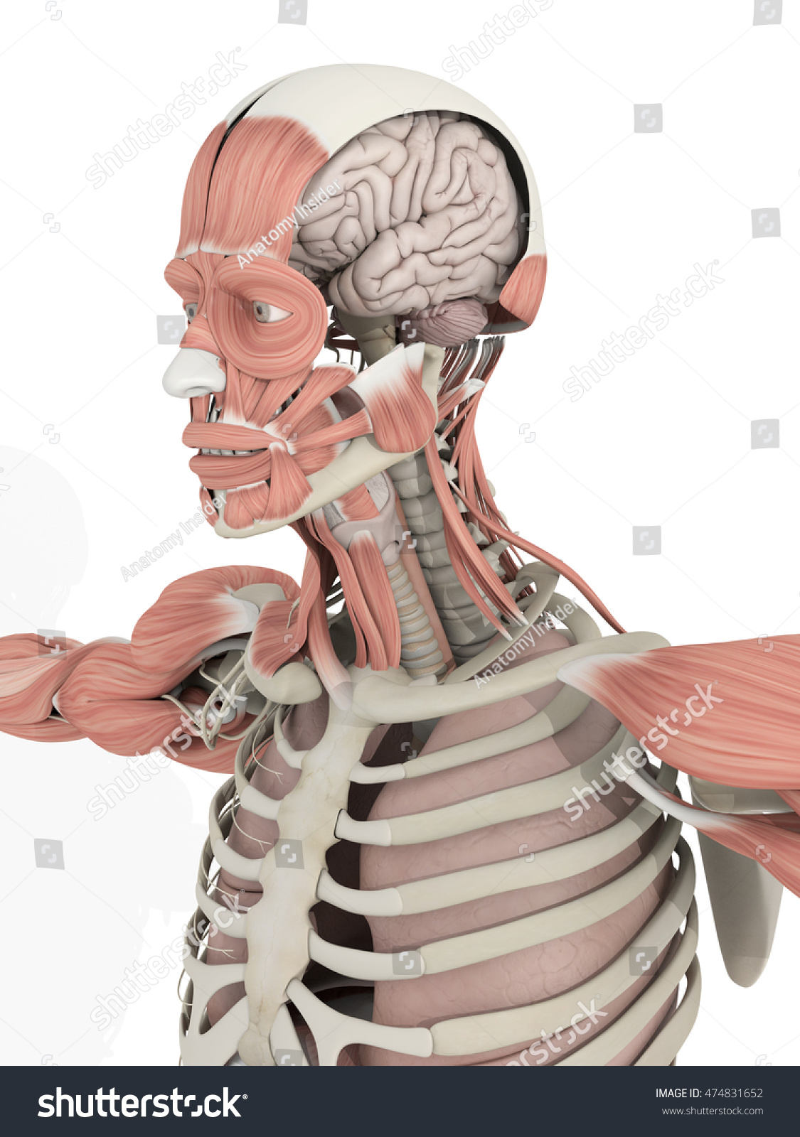 Human Anatomy Head Brain Medical Illustration Stock Illustration ...