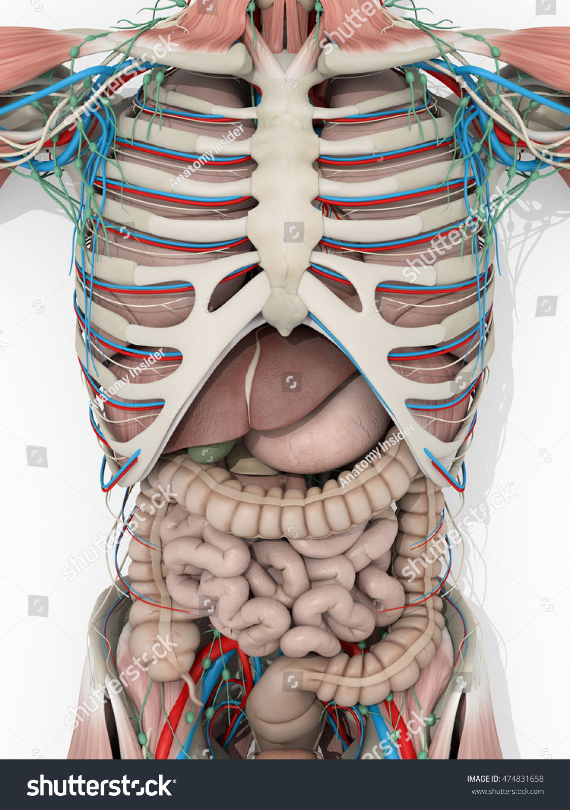 Human anatomy muscular system digestive system stock illustration human anatomy muscular system digestive system medical illustration on white background 3d illustration ccuart Gallery